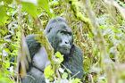 Abenteuer pur: Begegnungen mit Berggorillas in Uganda